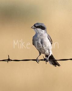 Loggerhead Shrike-17