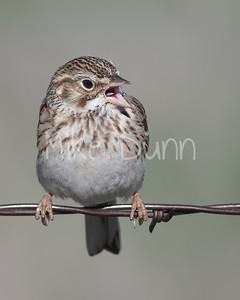 Vesper Sparrow-4
