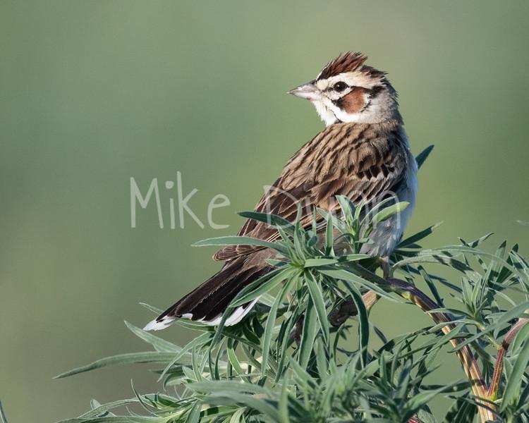 Lark Sparrow-10