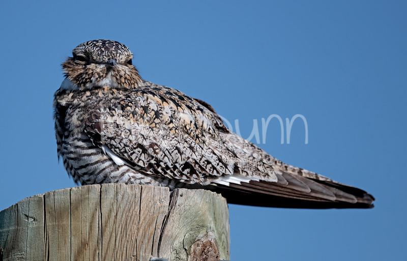 Common Nighthawk-12