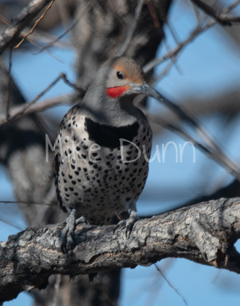 Northern Flicker-5