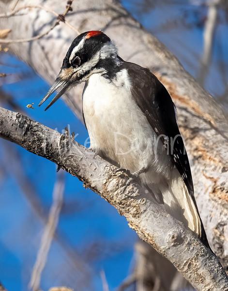 Hairy Woodpecker-4
