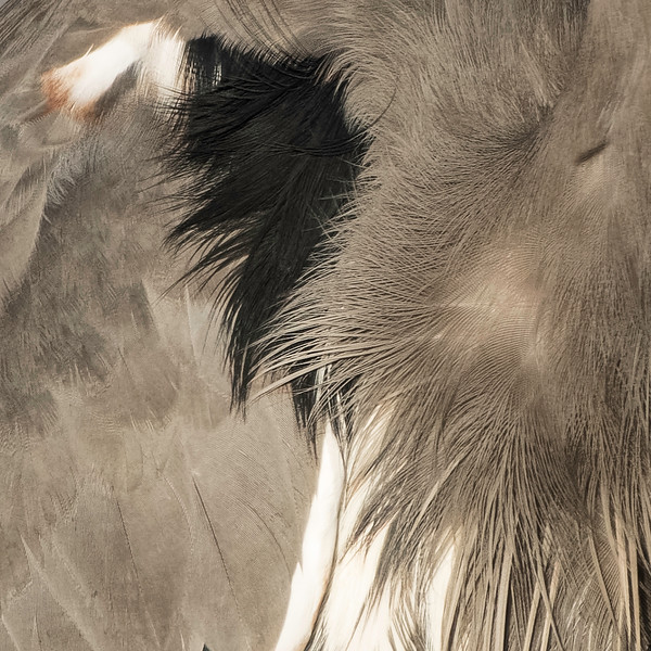 Feather closeup: Great Blue Heron<br /> Location: Sarasota County, FL
