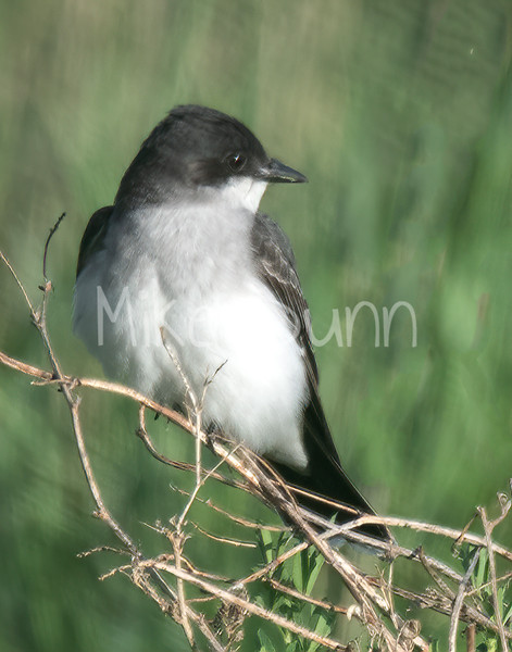 Eastern Kingbird-2