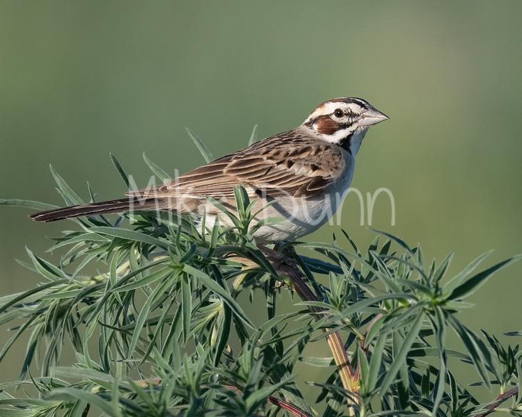 Lark Sparrow-11