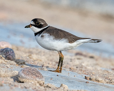 Semipalmated Plover-2
