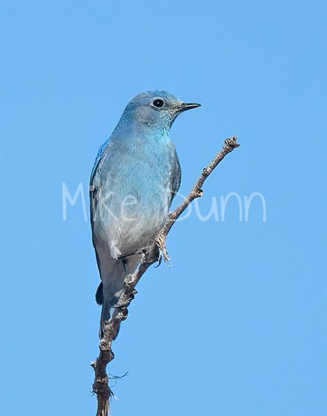 Mountain Bluebird-10