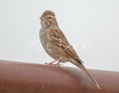 Brewer's Sparrow-2