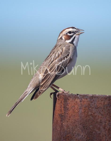 Lark Sparrow-2