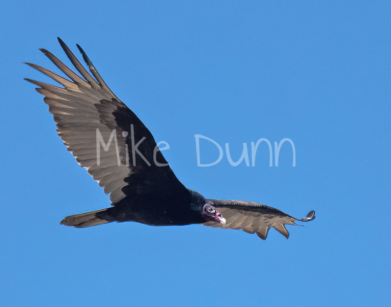 Turkey Vulture-7