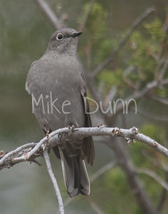 Townsend's Solitaire-1