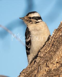Downy Woodpecker-7