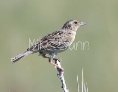 Grasshopper Sparrow-4