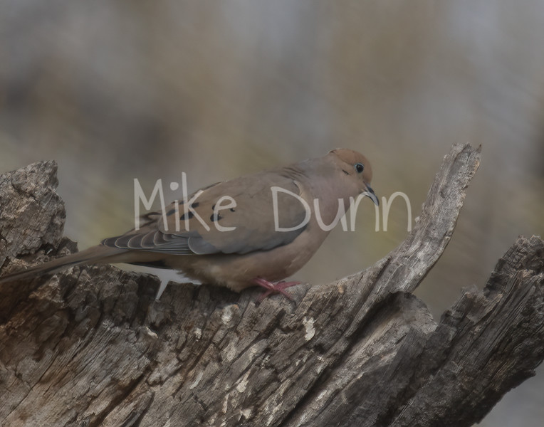 Mourning Dove-1