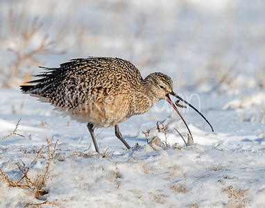 Long-billed Curlew-4