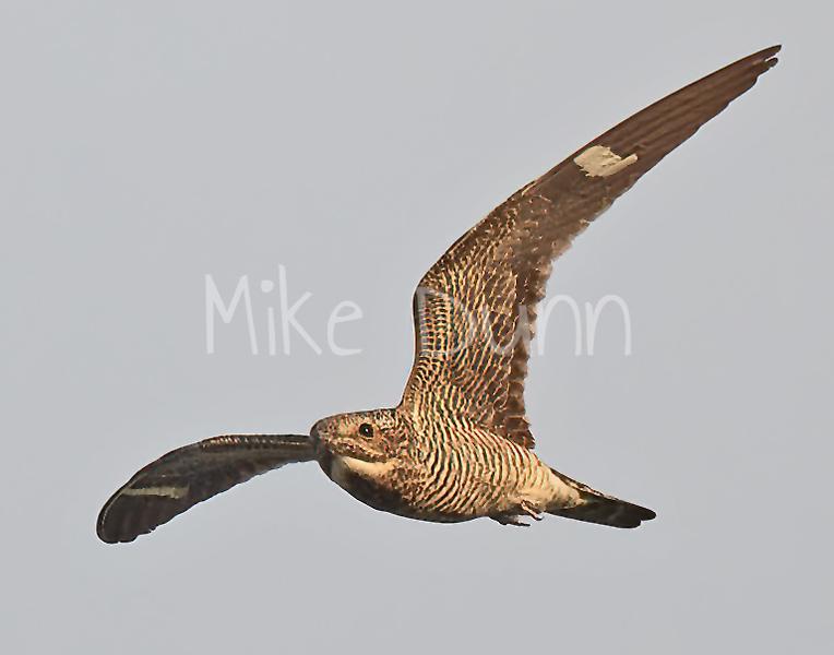Common Nighthawk-6