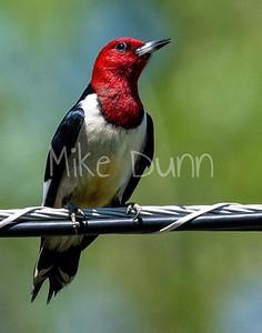 Red-headed Woodpecker-6