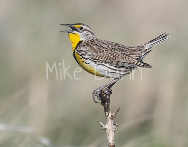 Western Meadowlark-7