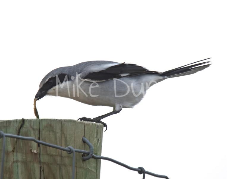 Loggerhead Shrike-2