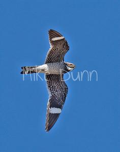 Common Nighthawk-5