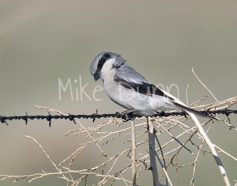Loggerhead Shrike-15