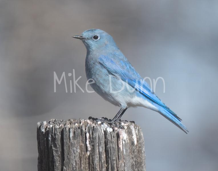 Mountain Bluebird-9