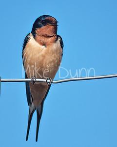 Barn Swallow-4