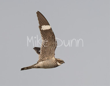 Common Nighthawk-11