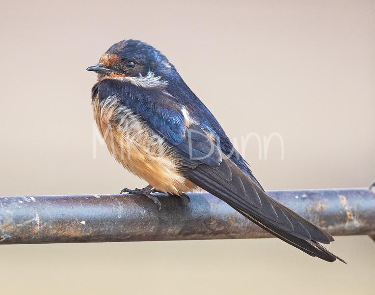 Barn Swallow-2