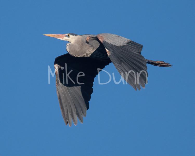 Great Blue Heron-1