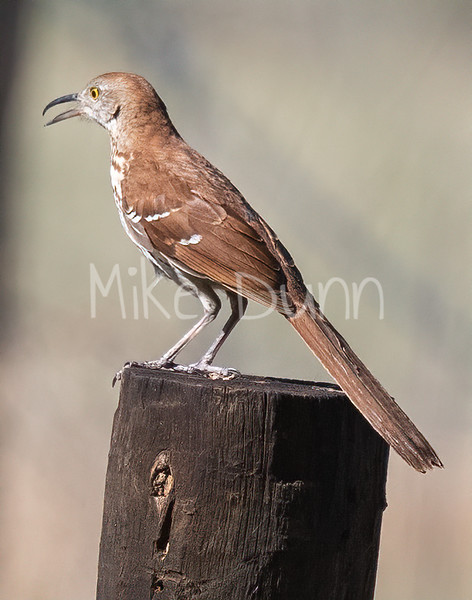 Brown Thrasher-10