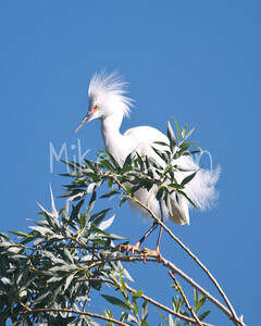 Snowy Egret-2