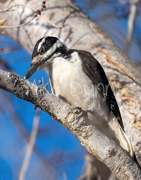 Hairy Woodpecker-3
