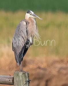 Great Blue Heron-4