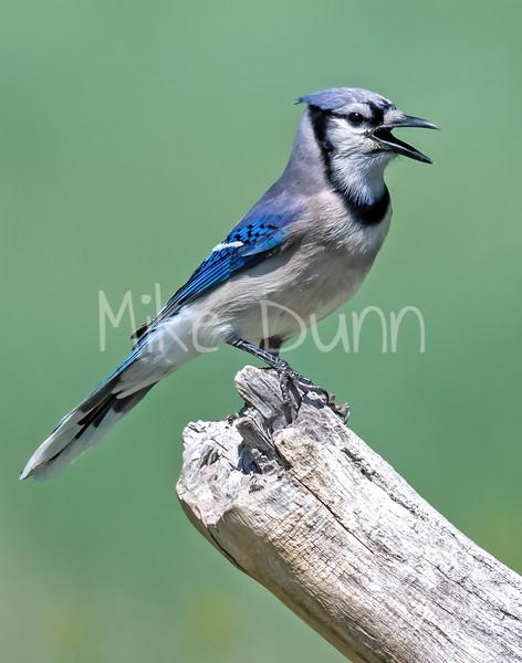 Blue Jay-5