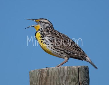 Western Meadowlark-9