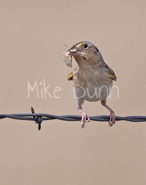 Grasshopper Sparrow-8