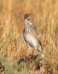 Vesper Sparrow-2