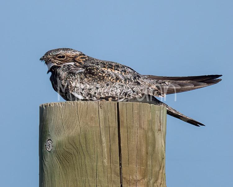 Common Nighthawk-9