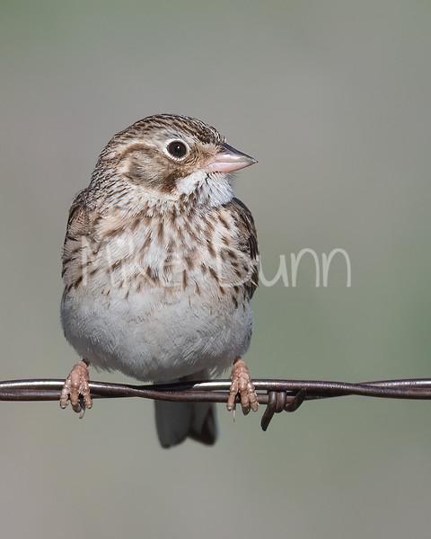 Vesper Sparrow-3