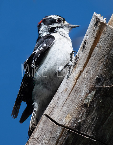 Downy Woodpecker-8