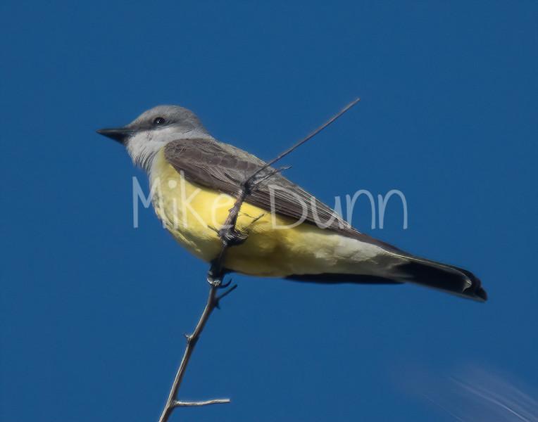 Western Kingbird-4