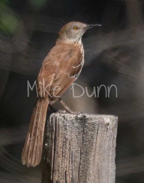Brown Thrasher-3