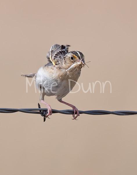 Grasshopper Sparrow-7