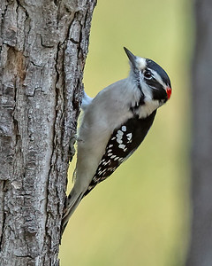 Downy Woodpecker-11