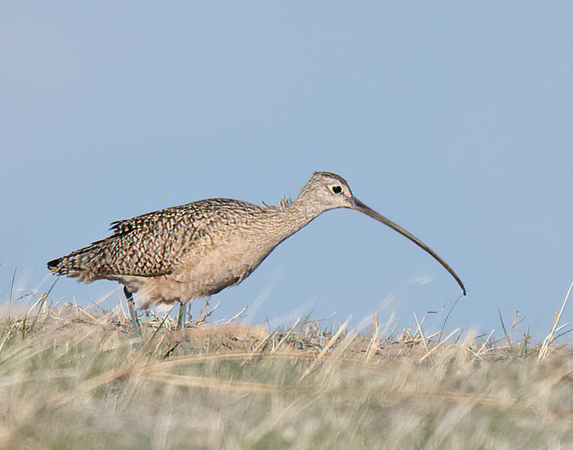 Long-billed Curlew-8