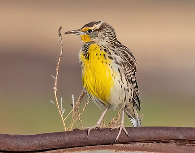 Western Meadowlark-11