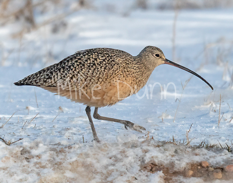 Long-billed Curlew-3