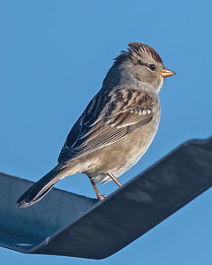 White-Crowned Sparrow-6