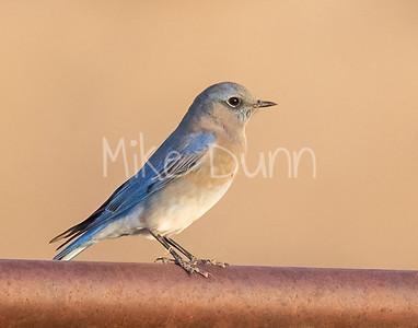 Mountain Bluebird-14